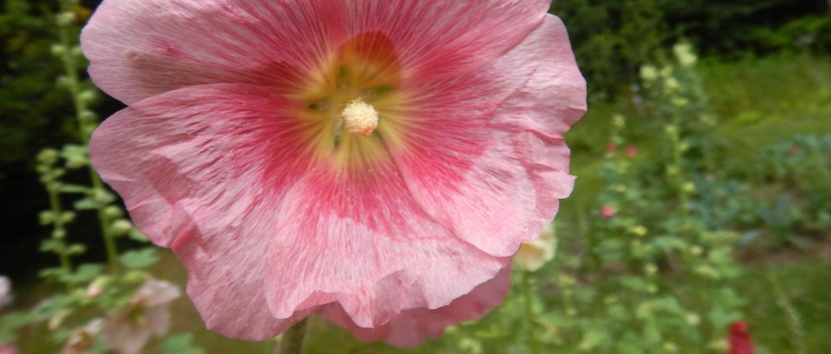 intro hollyhock
