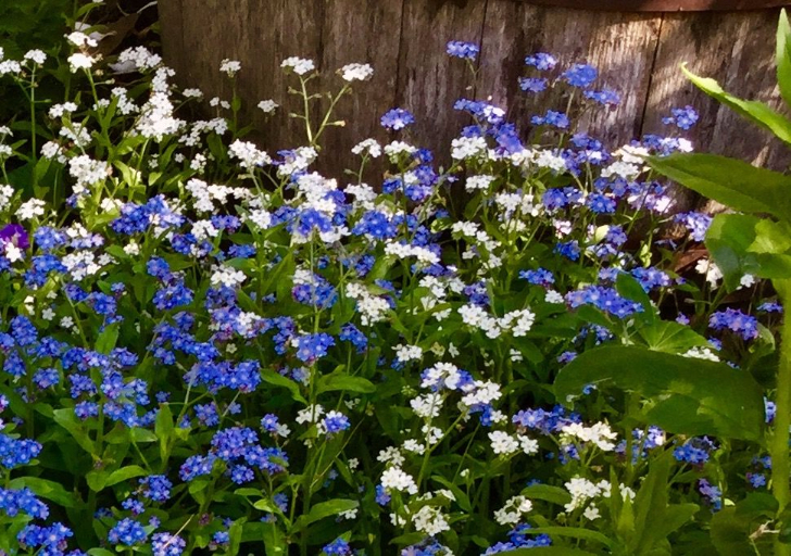 Forget me nots tasha tudor and family forget me nots are tough and will survive in zones 3 8 blooming period wanes with the arrival of early summers heat seeds ripen quickly and late mightylinksfo